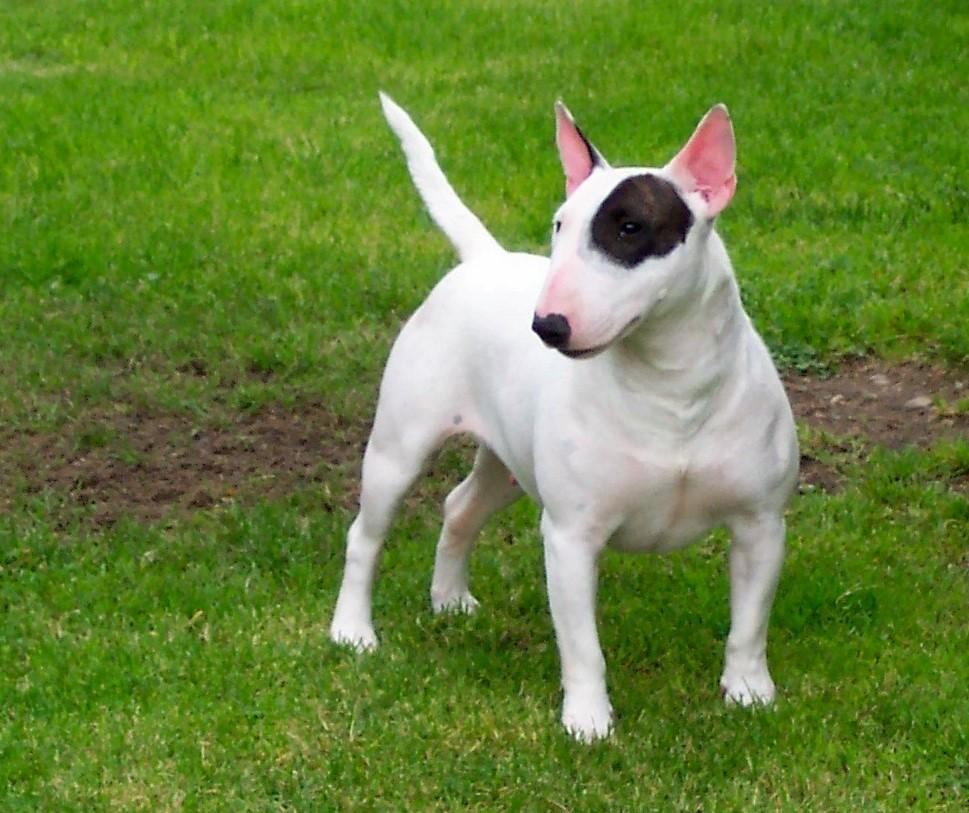 Bull_terrier